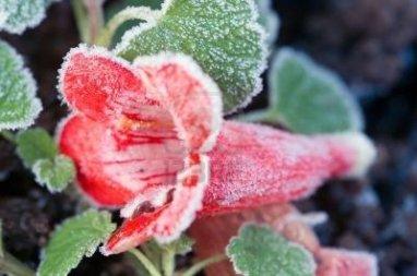 275770-czerwony-kwiat-penstemon-zlowionych-przez-mroz-na-ziemi
