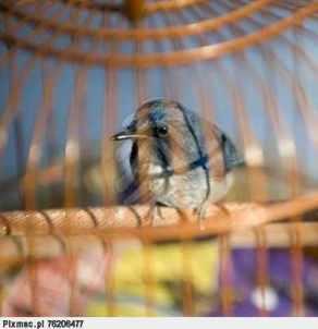 ptak-w-klatce-animal-ptakow-pixmac-fotografia-76206477